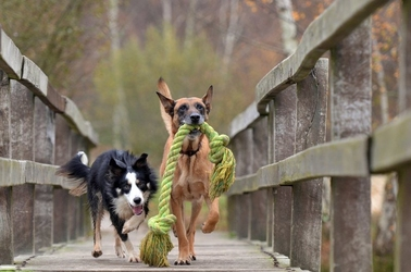 Fototapeta pies niosący w pysku linę fp 2513