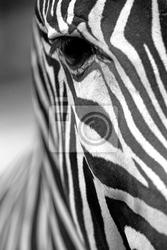 Obraz monochromatyczny zebra tekstury skóry