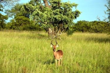 Fototapeta impala zwyczajna na łące fp 2923