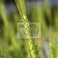 Fototapeta rośliny pszenicy