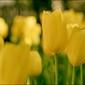 Żółte tulipany - plakat wymiar do wyboru: 40x30 cm