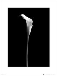 Calla Single - plakat premium