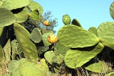 Fototapeta na ścianę kaktusy z opuncjami fp 550