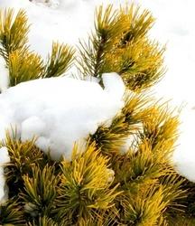 Sosna pospolita wintergold zimą złoty kolor