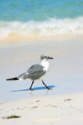 Fototapeta ptak spacerujący po plaży fp 2552