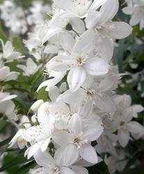 Żylistek deutzia gracilis lawina kwiatów