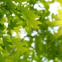 Obraz na płótnie canvas trzyczęściowy tryptyk zielone liście dębu