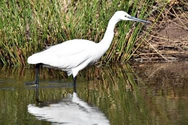 Fototapeta biały ptak poszukujący jedzenia fp 2862