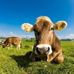 Naklejka samoprzylepna szczęśliwa szwajcarska krowa na zielonej trawie