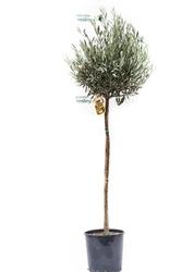 Oliwka europejska duże drzewo