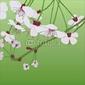 Obraz na płótnie canvas wiśniowe drzewo