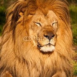 Obraz na płótnie canvas trzyczęściowy tryptyk lew męski śpiący