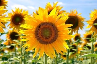 Fototapeta rosnące słoneczniki fp 533