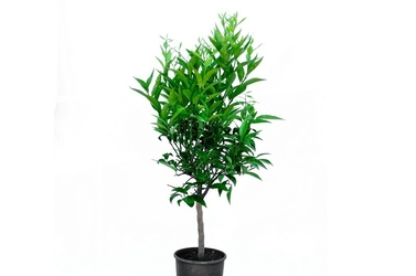 Klementynka drzewko