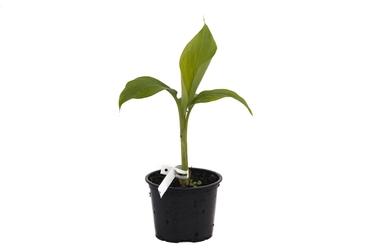 Bananowiec musa mannii sadzonka