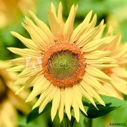 Naklejka samoprzylepna słonecznik