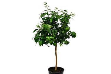 Pomarańcza bergamota duże drzewo