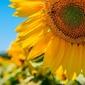 Francja, słoneczniki - plakat premium wymiar do wyboru: 50x40 cm