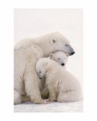 Polar Bear Family - reprodukcja