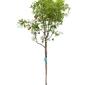 Granatowiec właściwy duże drzewo