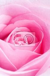 Plakat różowa róża