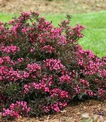 Krzewuszka alexandrina purpurowa ozdoba