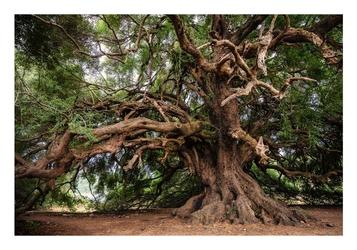 Stare drzewo - plakat wymiar do wyboru: 84,1x59,4 cm