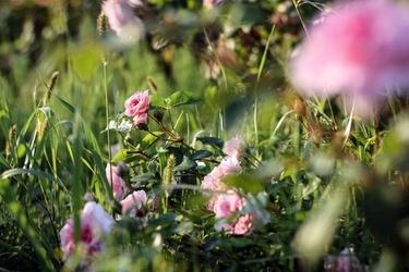 Pudrowe róże - plakat premium wymiar do wyboru: 100x70 cm