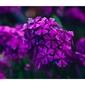 Fioletowe kwiaty - plakat wymiar do wyboru: 100x70 cm