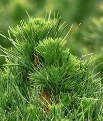 Sosna czarna globosa viridis zobacz warto