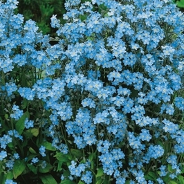 Niezapominajka heavenly blue – kiepenkerl