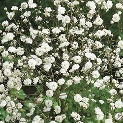 Gipsówka biała – łyszczec – kiepenkerl