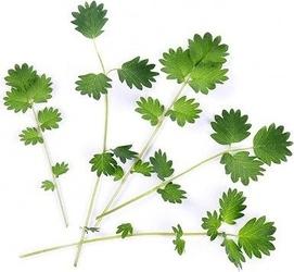 Wkład nasienny lingot warzywa liściowe krwiściąg mniejszy