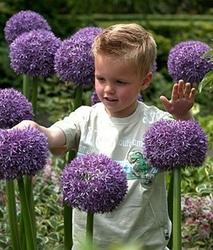Czosnek ozdobny gladiator meeega kwiaty - cebulka 1szt