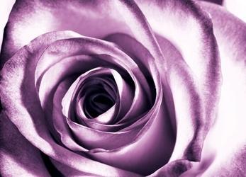 Purpurowa róża - fototapeta