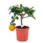 Cytryna meyeri małe drzewko