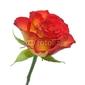 Plakat na papierze fotorealistycznym róża 2a