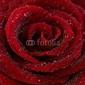 Obraz na płótnie canvas czteroczęściowy tetraptyk róża