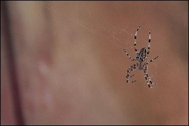 Spider cross ii - plakat premium wymiar do wyboru: 42x29,7 cm
