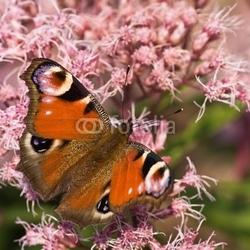Fotoboard na płycie motyl pawi