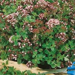 Oregano lebiodka – nasiona kiepenkerl
