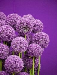 Czosnek globemaster 70cm obwód kwiata : cebulka 1szt