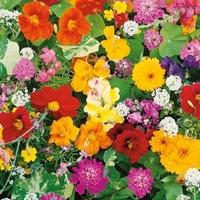 Pachnące kwiaty na skalniak – nasiona kiepenkerl