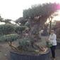 Drzewko oliwne bonsai