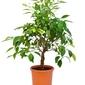 Limetta patriarca duże drzewko