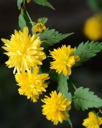 Same kwiaty złotlin kwitnie  całe lato