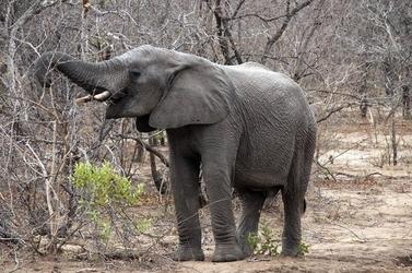 Fototapeta słon łamiacy gałąź fp 2994