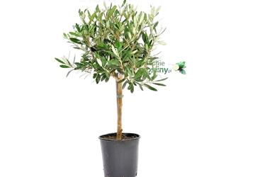 Oliwka europejska drzewko