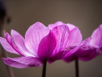 Fototapeta kwiat, fiołek 298