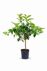 Cytryna lunario duże drzewko